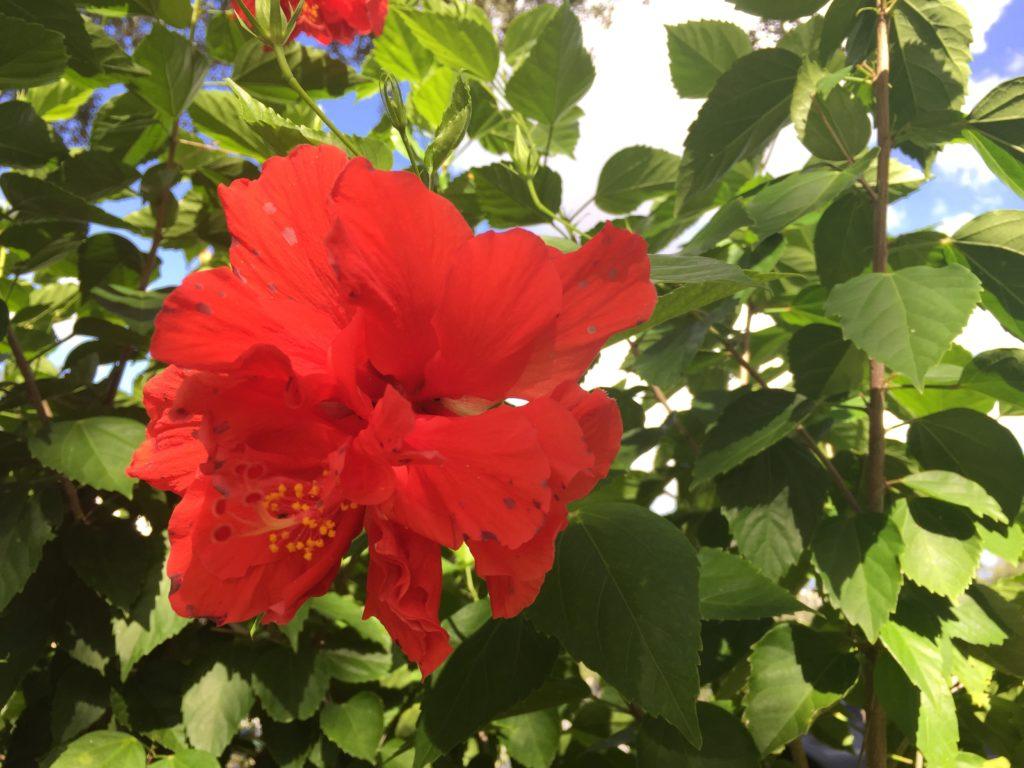 Hibiscus in Orlando FL